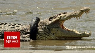 Indonesia crocodile stuck in a tyre worries rescuers - BBC News