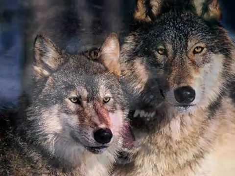 Серый волк.В.Клименков