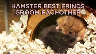 Cute hamsters grooming each other
