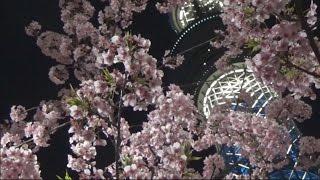 東京スカイツリーの足元。北十間川にかかる東武橋の河津桜が満開だ。夜...