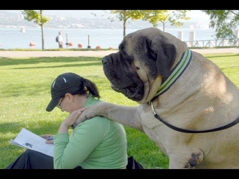 Zorba - The World's Largest Dog Ever