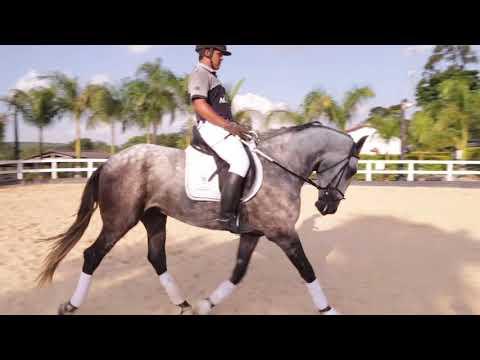 Lote 25 - Latido do Drosa - Cavalos puro sangue Lusitanos - Coudelaria aguilar