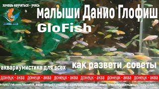 GloFish, малыши Данио Глофиш, красивые рыбки, aquaristics,Aquaristik, akvarier,  aquariophilie