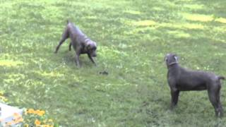 2 Weimaraner Dogs And A Snake