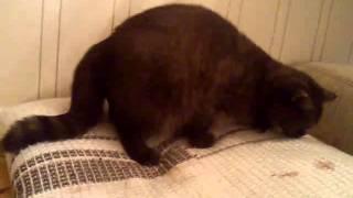 Роды британской кошки Манюни Ку-Саковой(Британская короткошерстная кошка Манюня Ку-Сакова рожает котят в первый раз. На видео схватки, роды, вылизы..., 2015-01-09T17:50:22.000Z)