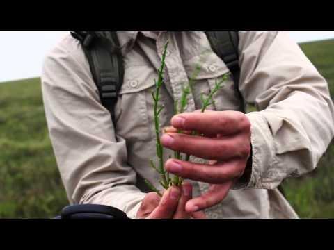 Foraging - Marsh Samphire