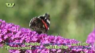 Vlinders!  Atalanta & Kleine vos op Buddleja davidii