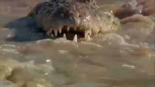 Лев утопил крокодила! Драки животных, жесть!