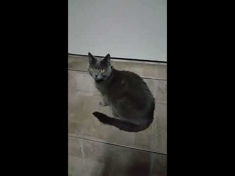 Chartreux cat kills spider