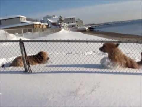 Briards in the Snow