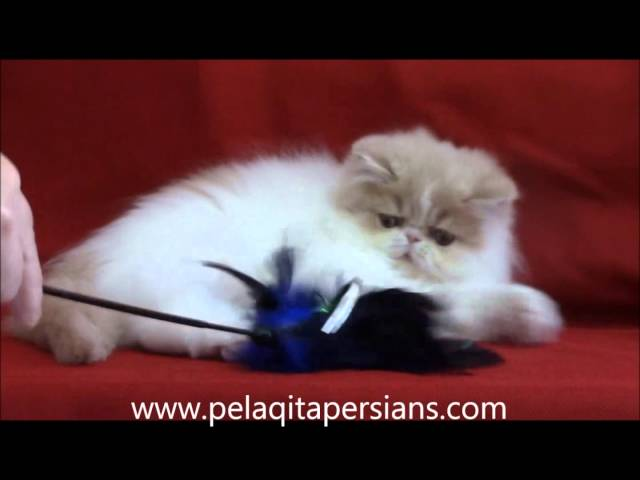 Cream & White female Persian kitten