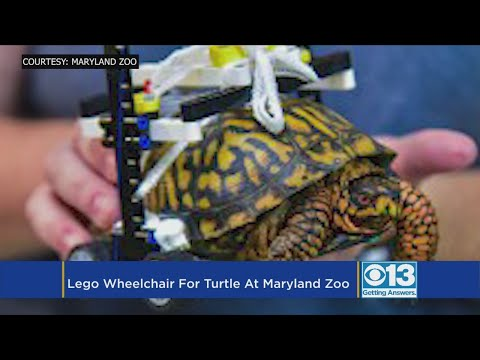 Matt and Aly - Injured Turtle Gets Adorable LEGO Wheelchair