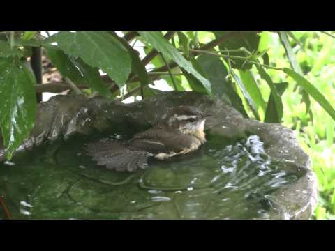 Carolina wrens bathing 2013-11-08