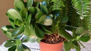 Dicas e Curiosidades Sobre a Planta Jade