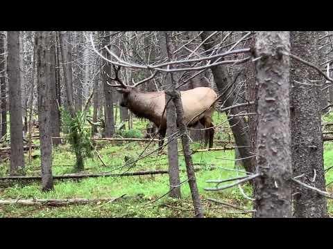 Bull Elk Yellowstone September 11, 2019