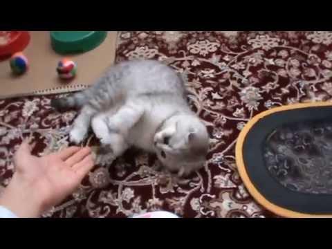 Скоттиш фолд Шотландская вислоухая кошка Отзывы