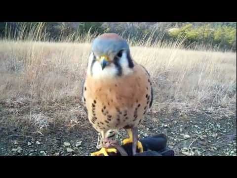 "Our American Kestrel (Scales and Tales) - ""My little buddy"""