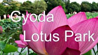 Lotus Park, Gyoda Saitama 埼玉県行田市 古代蓮の里 thumbnail