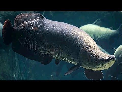 Os 10 Maiores Peixes De Água Doce Do Mundo
