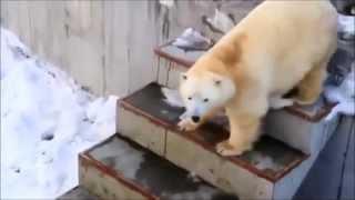 Дикие животные белый медведь