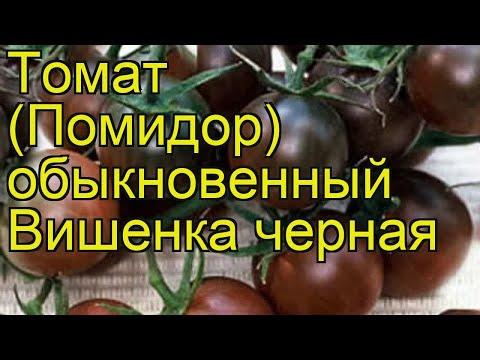 Томат обыкновенный Вишенка черная. Краткий обзор, описание характеристик Vishenka chernaia