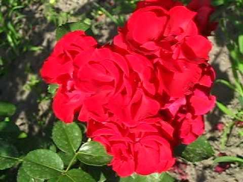 Цветы. Розы. Сантана.