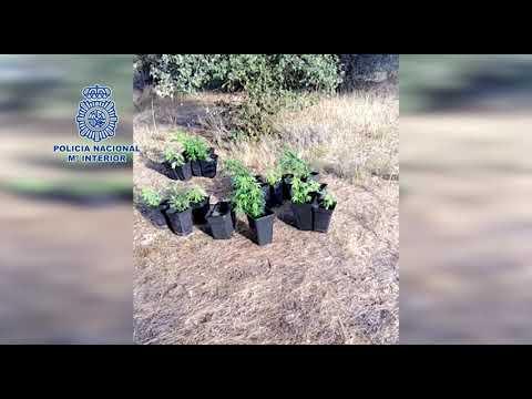 La Policía localizan alrededor de 500 plantas de marihuana en Medina del Campo