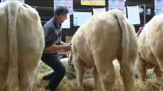 Semur-en-Auxois : une ambiance morose pour le 57e concours de reproducteurs charolais