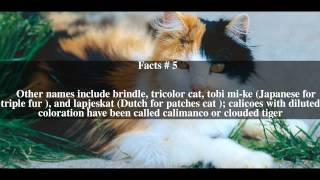 Calico cat Top # 8 Facts