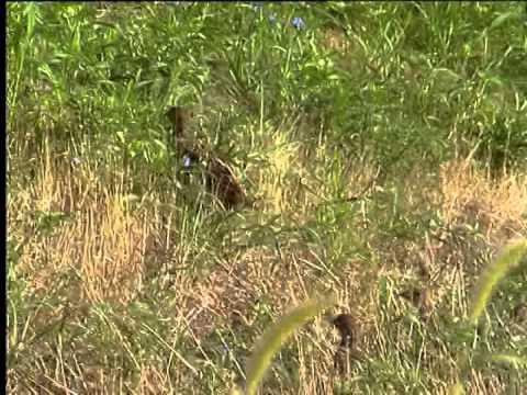 Pheasants in Croplands 3  Kansas Wildlife and Parks
