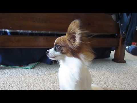 Percy the Papillon Dog: Randomly Cute Papillon Things! #1