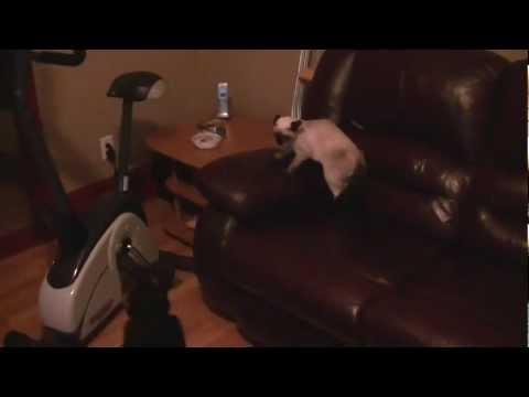 Dog attack cat