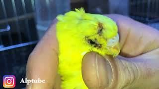 Dişi Kuş Erkek Kuşu Dövmüş