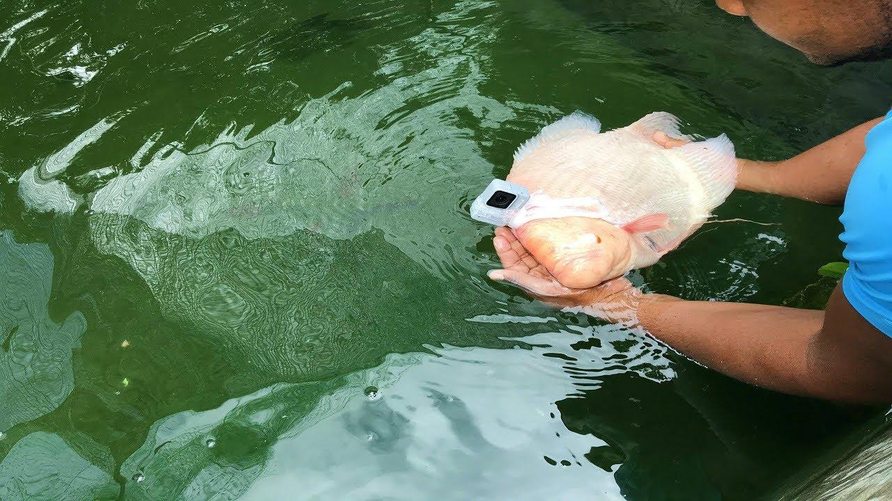 que sucede si le ponemos una gopro al pez gigante