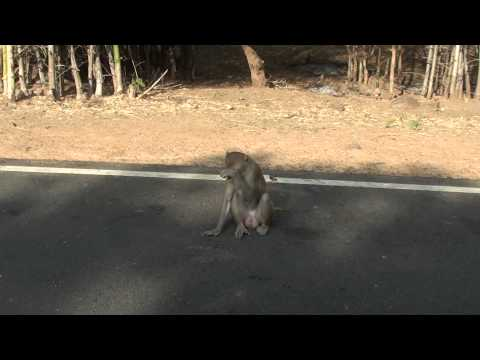 Rhesus macaque  (Indian Monkey)  video captured at Nagarjuna Sagar Wildlife Sanctuary