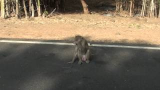 Rhesus macaque  (Indian Monkey)  video captured at Nagarjuna Sagar Wildlife Sanctuary