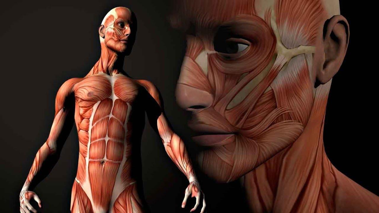 Video 1 Músculos del miembro superior: cíngulo, grupo anterior - YouTube