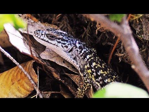 Blue Alligator Lizard at Grays Falls, Trinity R.
