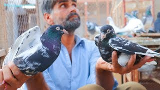 Pigeon Farming in Pakistan|Kabutar Farming in Pakistan|Birds Farming|Beautiful Pigeons
