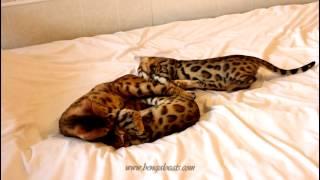 Бенгальская кошка играет с дочками (3мес.) www.bengalocats.com