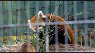 Endangered red panda cubs born in captivity