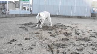 ホワイトスイスシェパード☆エース☆ ボールで遊ぶと・・・犬ですか? 猫...
