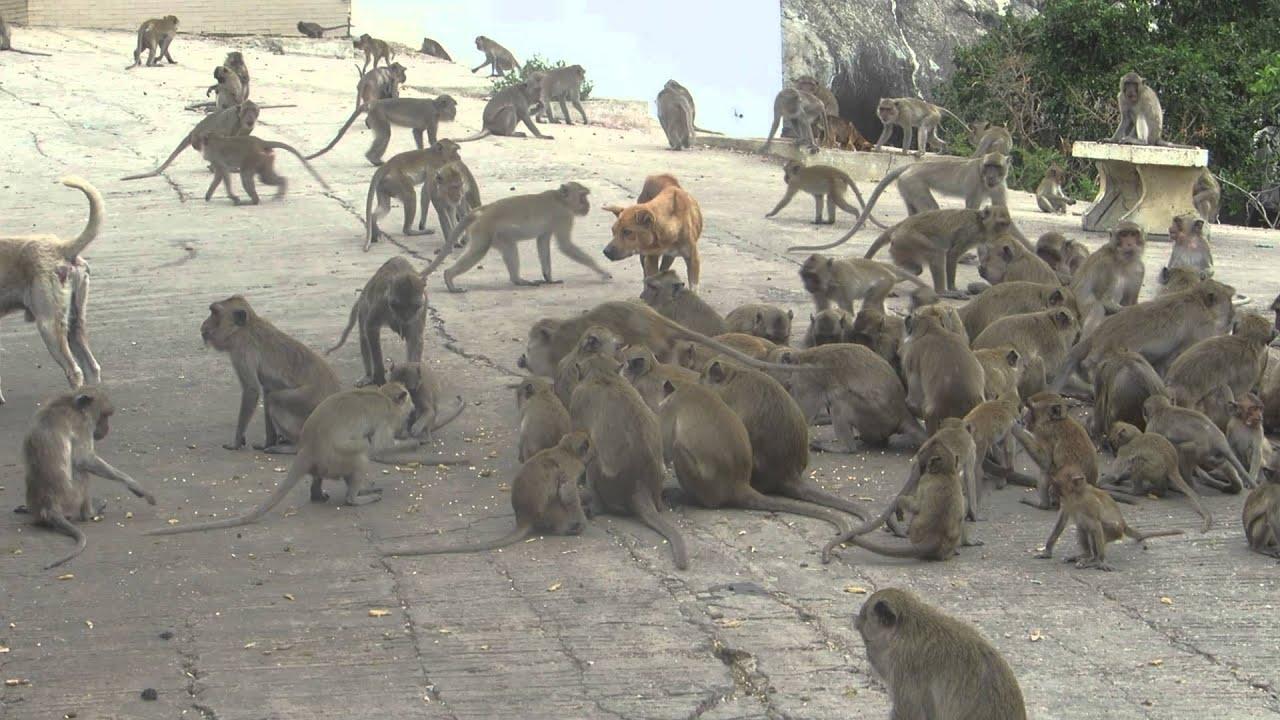 Thailand Affen