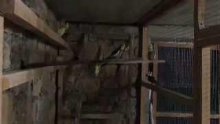 волнистые попугаи в вольерах фильм первый