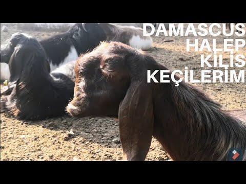 7 Adet HALEP Keçisi Aylık Ne Kadar Kazandırır/Halep keçisi Maliyet Hesabı/Kazanç Ne Kadar?