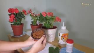 03  Begonia Multiplying & Regrow