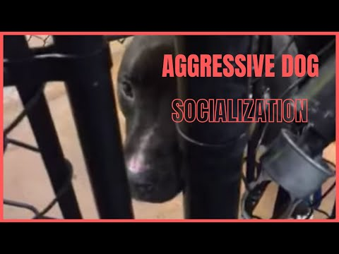 Dog Training | Aggressive dog socialization | Solid K9 Training Dog Training