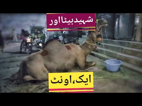 Camel for Shaheeds Qurbani Eid 2019 in Lahore - Samanabad