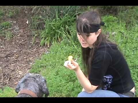 Dandelions : Edible and Medicinal Uses