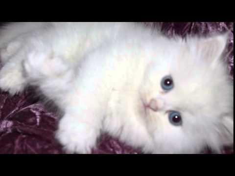 صور قطط شيرازية رائعة اجمل صور قطط وبسس شيرازي Youtube